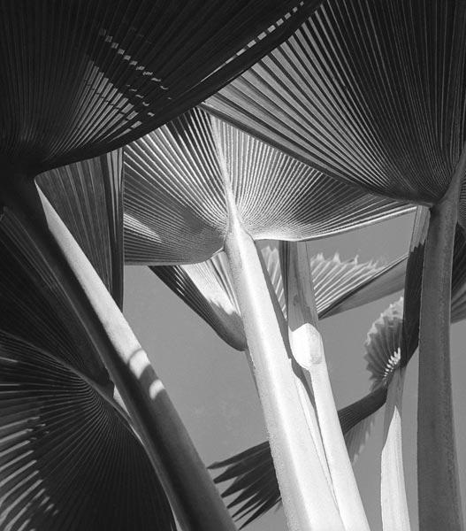 Arrangement of common decorative palm (b/w photo)