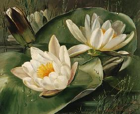 AB235 Water Lilies