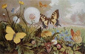 Butterflies, illustration from an Hungarian natural history book, c.1900 (colour litho)
