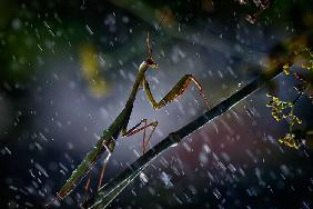 Mantis in the rain