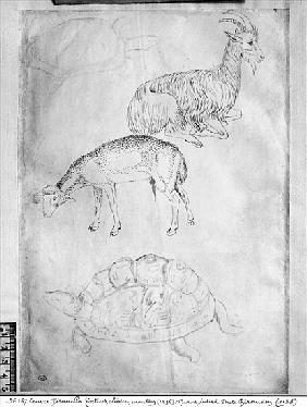 Two tortoises, goat and sheep, from the The Vallardi Album