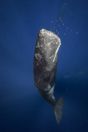 Candle sperm whale