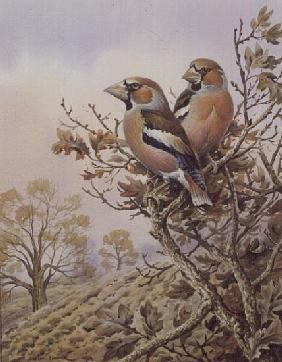 Pair of Chaffinches