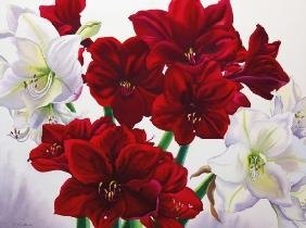 Red and White Amaryllis