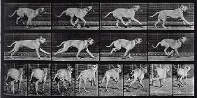 Running Dog, plate 707 from ''Animal Locomotion'', 1887 (b/w photo)
