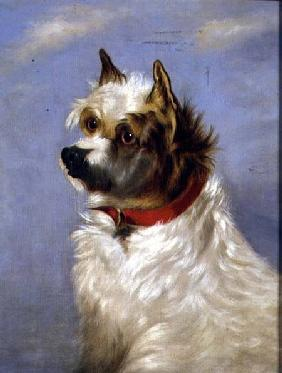 A terrier with a red collar