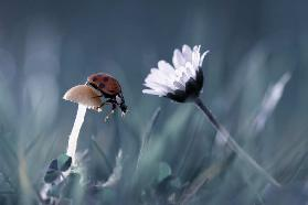 The story of the lady bug that tries to convice the mushroom to have a date with the beautiful daisy