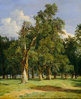Elm trees in Prater