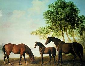 Shafto Mares and a Foal