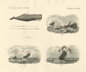 About the way of living and the capture of the large-headed trumpet whale or cachalot