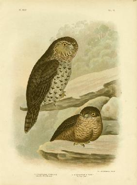 Great Owl Of The Brushes Or Powerful Owl