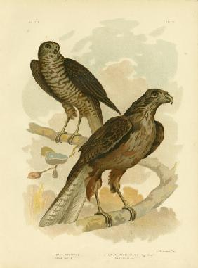 Radiated Goshawk