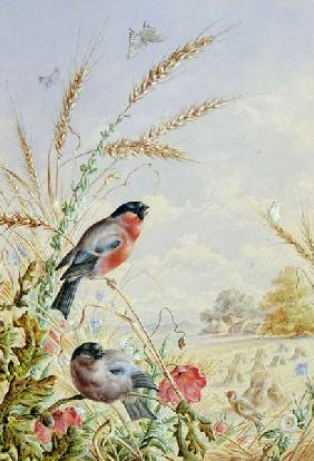 Bullfinches in a harvest field
