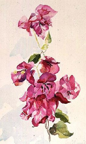 No.3 Bougainvillea diagenta (w/c)