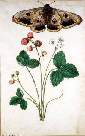 Female Emperor Moth (Saturnia Pavonia) and Wild Strawberry (Fragaria vesca)