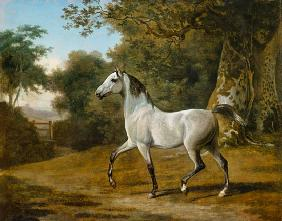 Grey Arabian stallion in a woodland landscape