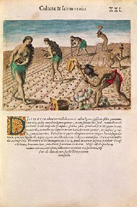 Florida Indians planting maize, from ''Brevis Narratio...'', published Theodore de Bry, 1591(see als