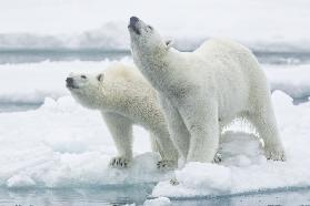 Polar bears, mother and son