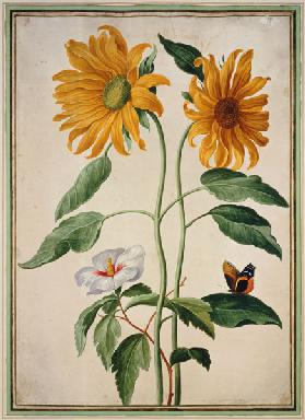 Sunflowers plate 18 from the Nassau Florilegium  on