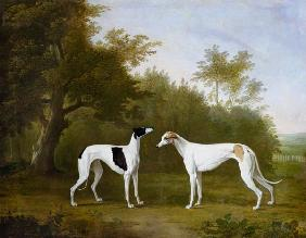 Two Greyhounds in a wooded landscape.