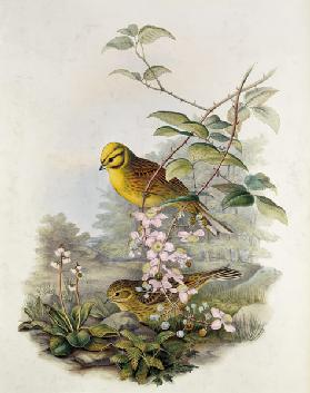 Yellowhammer, 1873 (pencil, w/c on