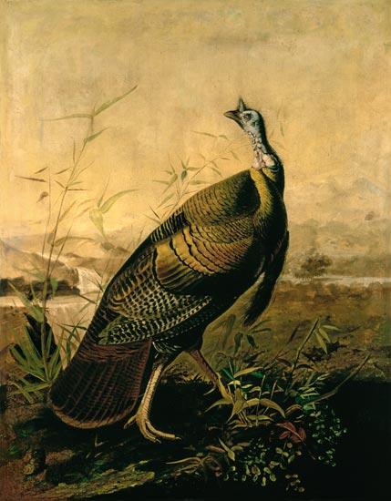 The American Wild Turkey Cock John James Audubon As Art