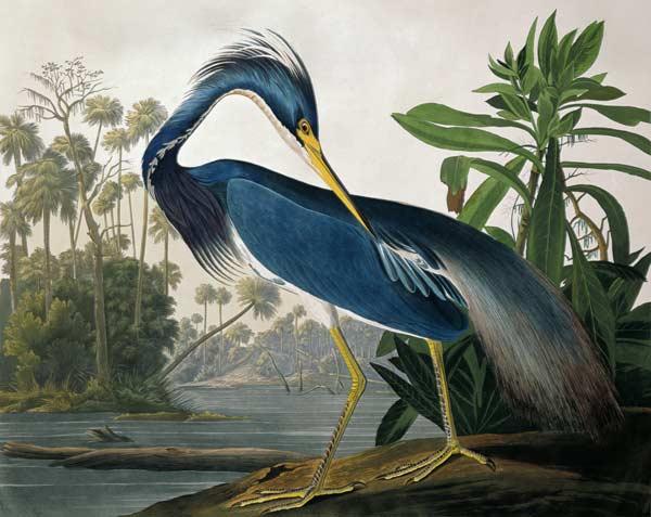 Louisiana Heron From 39 Birds Of America 39 John James