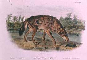 Red Wolf from Quadrupeds of North America (1842-5)