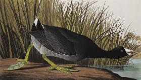 American Coot, from 'Birds of America', 1835 (coloured engraving)