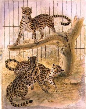 Ocelots in a Cage