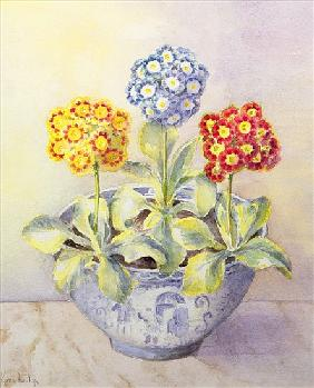 Auricula in a Chinese Pot
