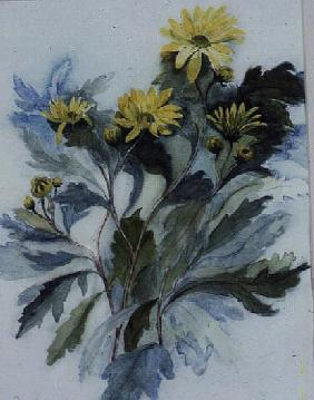 Chrysanthemum, Mary Stoker