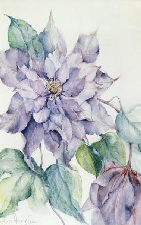 Clematis, Lord Neville