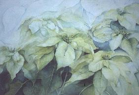 White Poinsettia (horizontal)