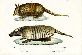 Different Kinds Of Armadillos