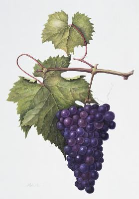 Grapes, 1994 (w/c on paper)
