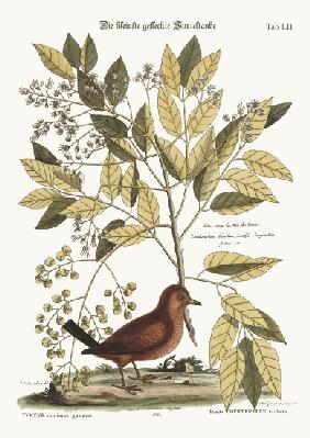 The Ground Dove