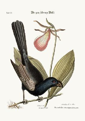 The Razor-billed Black-bird of Jamaica
