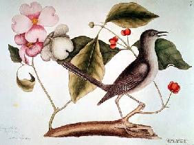 "Dogwood: Cornus florida and Mocking Bird from the ""Natural History of Carolina"" (1730-48)"