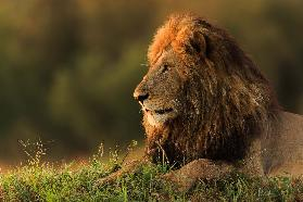 Male lion watching sunrise in Masai Mara