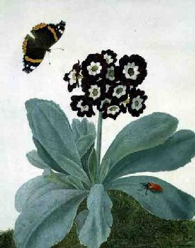 Primula Auricula with Butterfly and Beetle