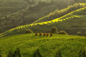 Five Ladies in Rice Fields
