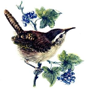 Wren in the ivy