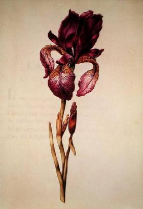 Iris, from 'La Guirlande de Julie'