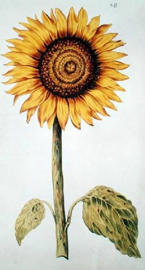 Sunflower or Helianthus, from 'La Guirlande de Julie'