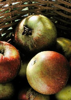Cox''s apples in basket, 1994 (colour photo)