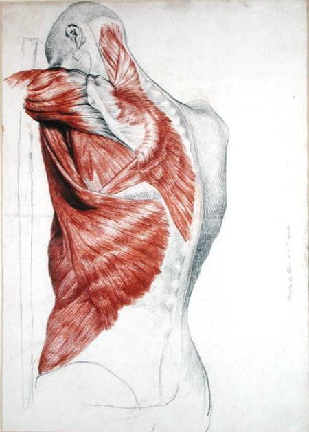 Human Anatomy; Muscles of the Torso and - Pierre Jean David d\'Angers ...