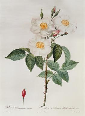 Rosa Damascena Subalba