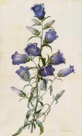 Campanula: Medium (Canterbury Bell)