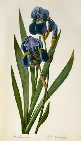 Iris Germanica, from `Les Liliacees'